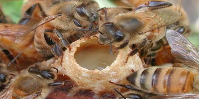 arı sütü faydalari